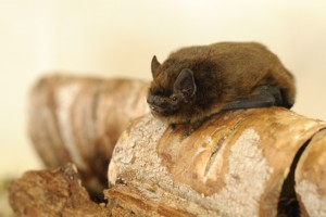 Common Pipistrelle, one of the most widespread bats in the Brecks. Image: Amy Lewis.